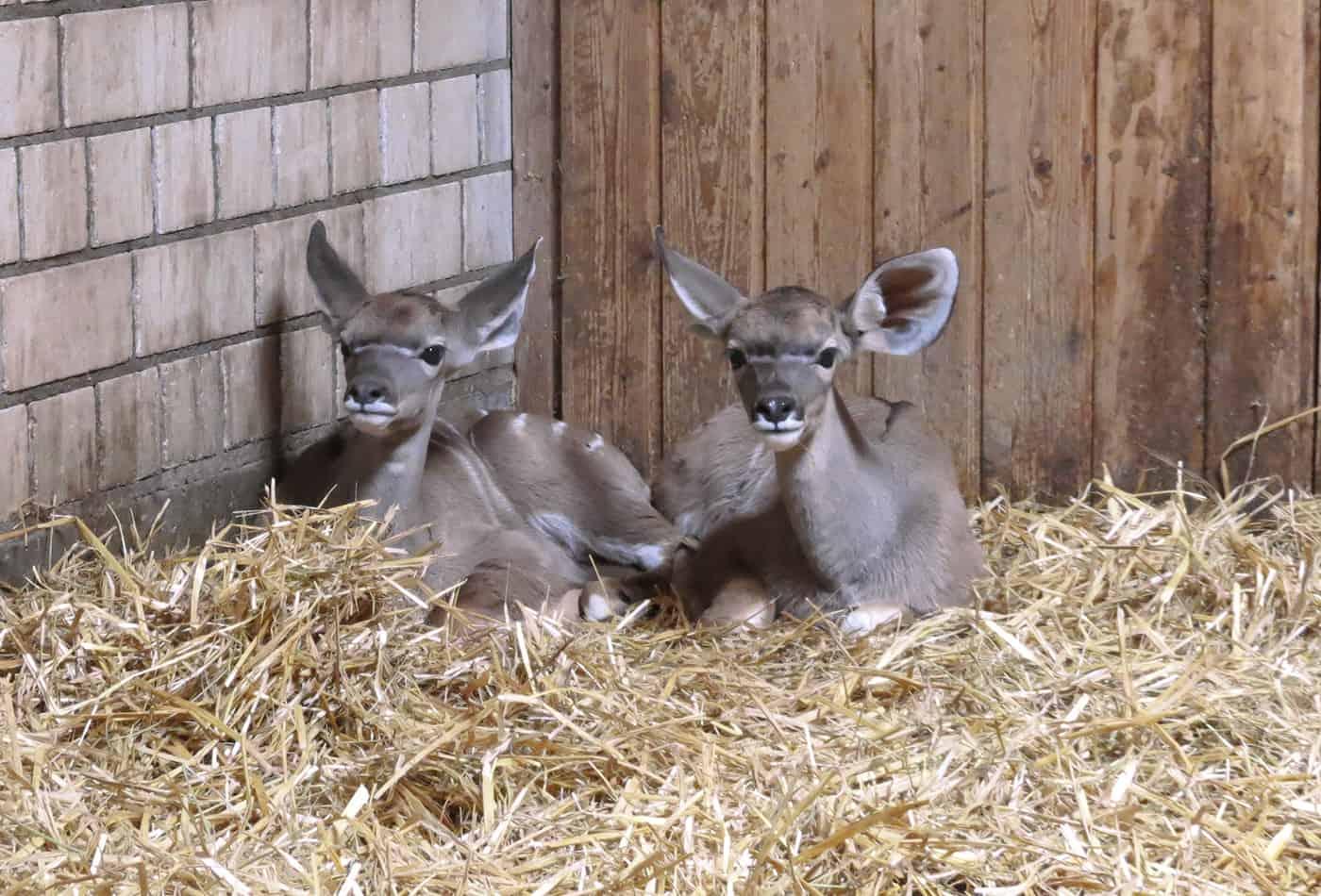 Doppelter Nachwuchs bei den Großen Kudus (Foto: Zoo Heidelberg)