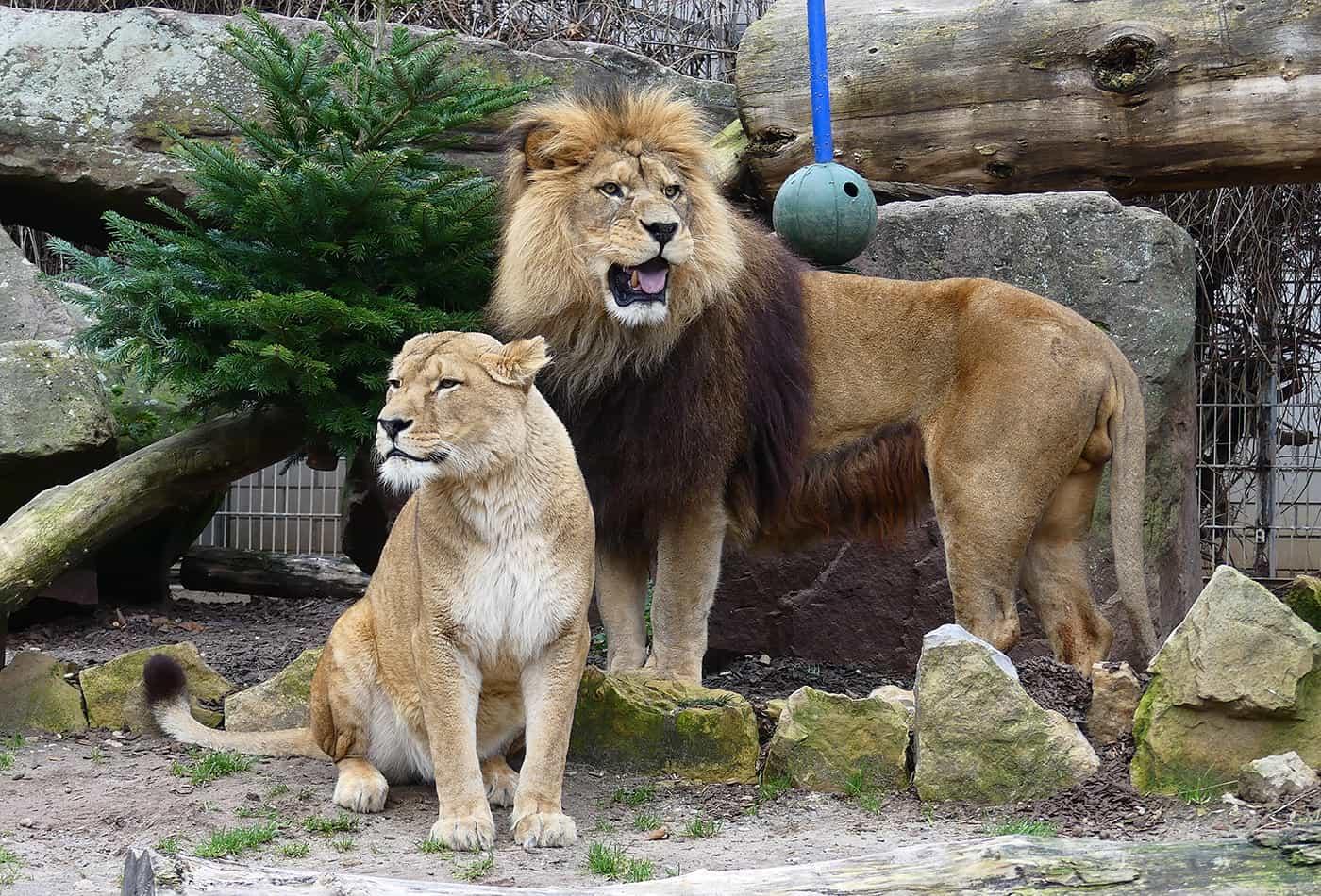 Berberlöwen Binta und Chalid (Foto: Petra Medan/Zoo Heidelberg)