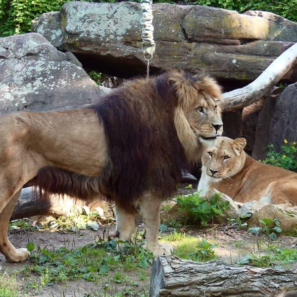 Eröffnung Löwenanlage Event Bild