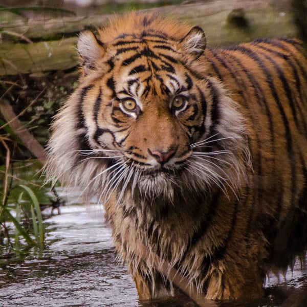 Thementag: Tiger Event Bild
