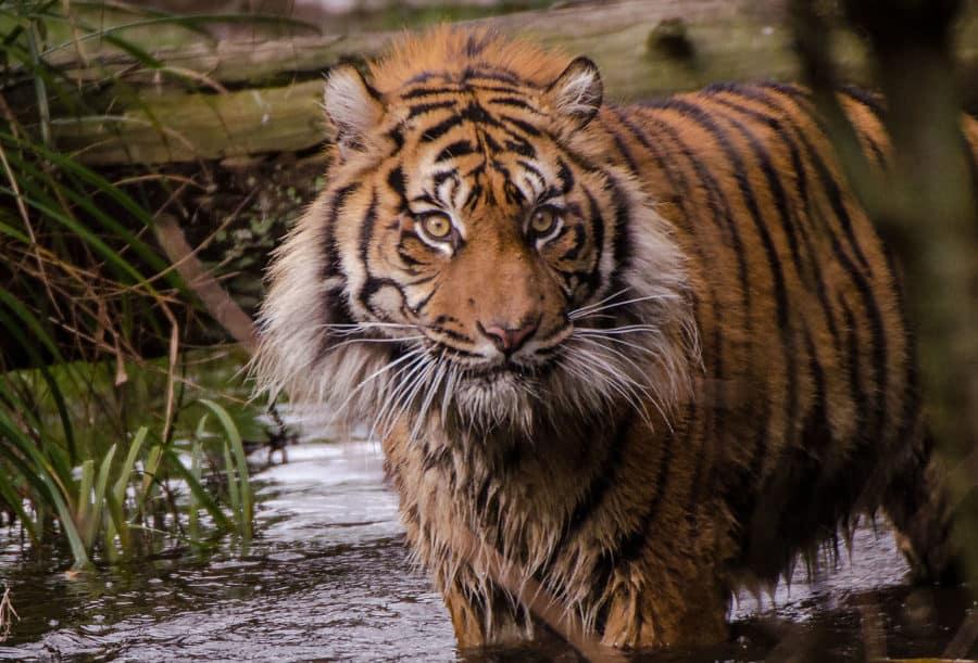thementag tiger zoo heidelberg leben live erleben. Black Bedroom Furniture Sets. Home Design Ideas