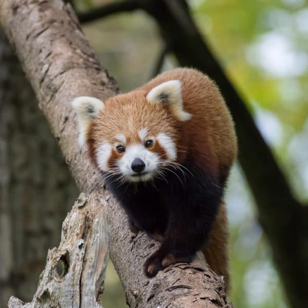 Roter Panda (Foto: Heidrun Knigge)