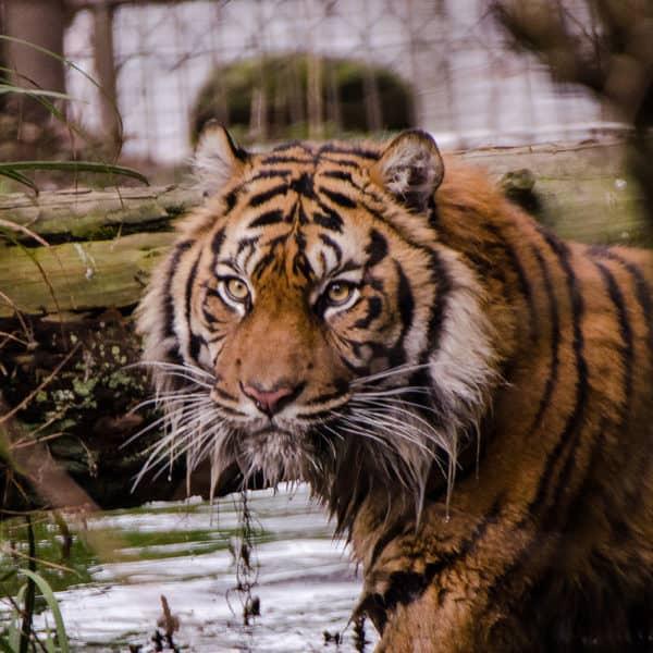 Sumatra Tiger Tebo (Foto: Susi Fischer)