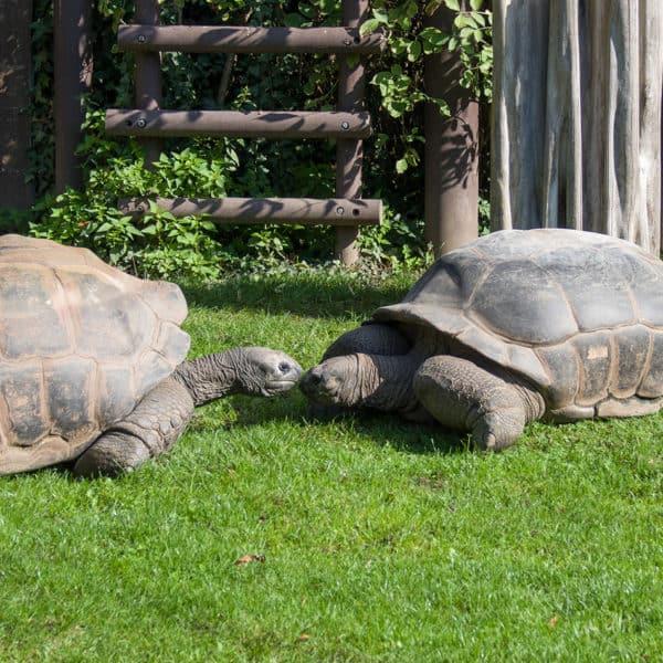 Seychellen-Riesenschildkröten (Foto: Heidrun Knigge)