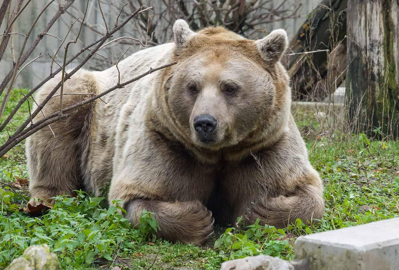 Syrischer Braunbär Martin (Foto: Heidrun Knigge/Zoo Heidelberg)