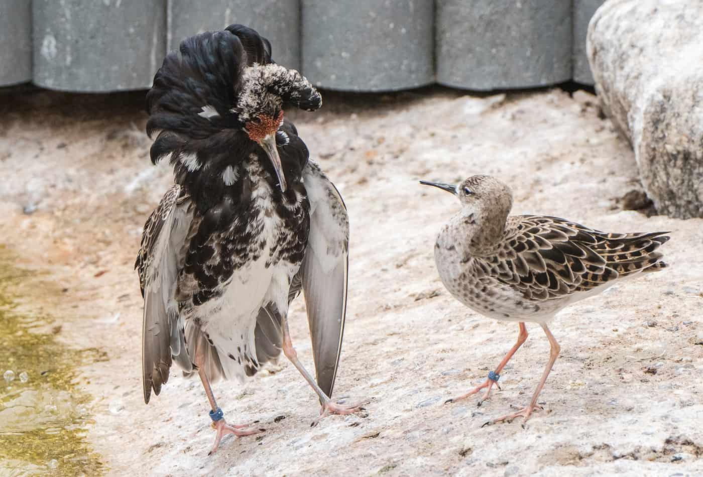 Kampfläufer bei der Balz (Foto: Susi Fischer/Zoo Heidelberg)