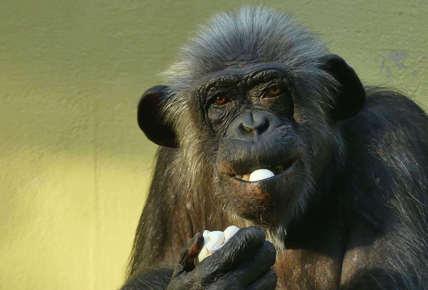 Schimpanse (Foto: Petra Medan)