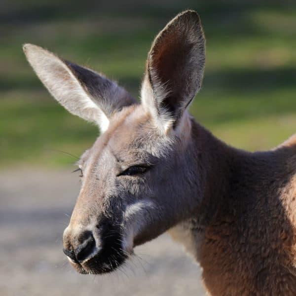 Rotes Riesenkänguru (Foto: Gerd Löwenbrück)