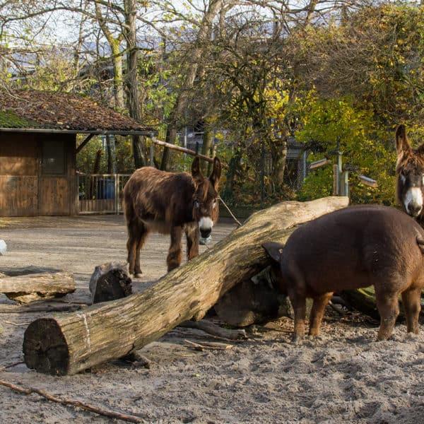 Poitou-Esel und Duroc-Schwein in Vergesellschaftung (Foto: Heidrun Knigge)