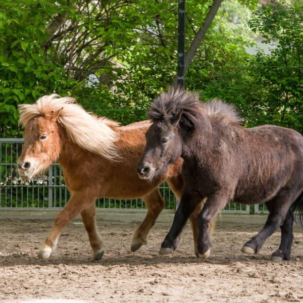 Shetland-Ponys Zora und Markus (Foto: Heidrun Knigge)