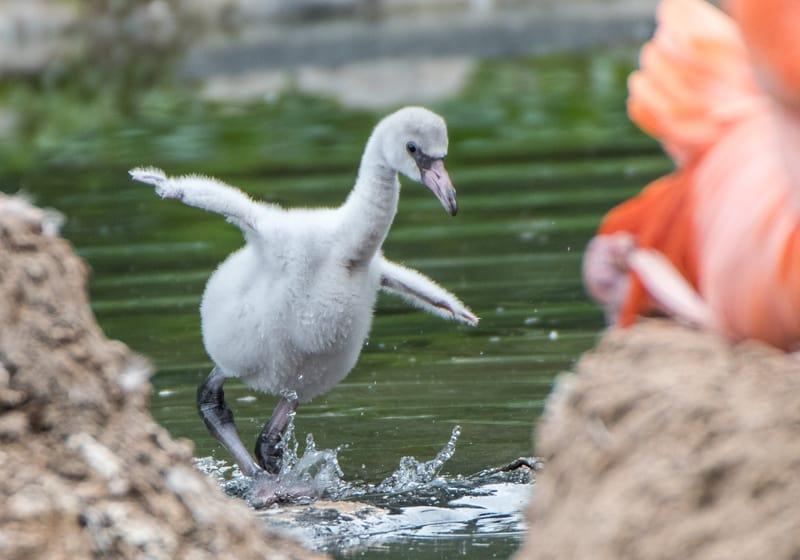 Flamingoküken im Wasser