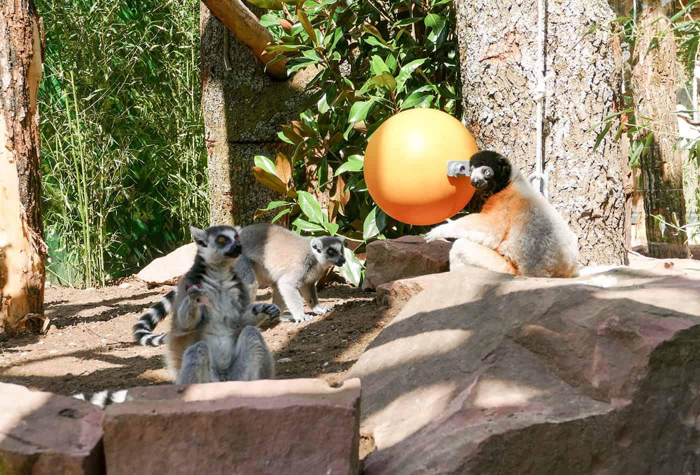 Lemuren im Zoo Heidelberg (Foto: Petra Medan/Zoo Heidelberg)