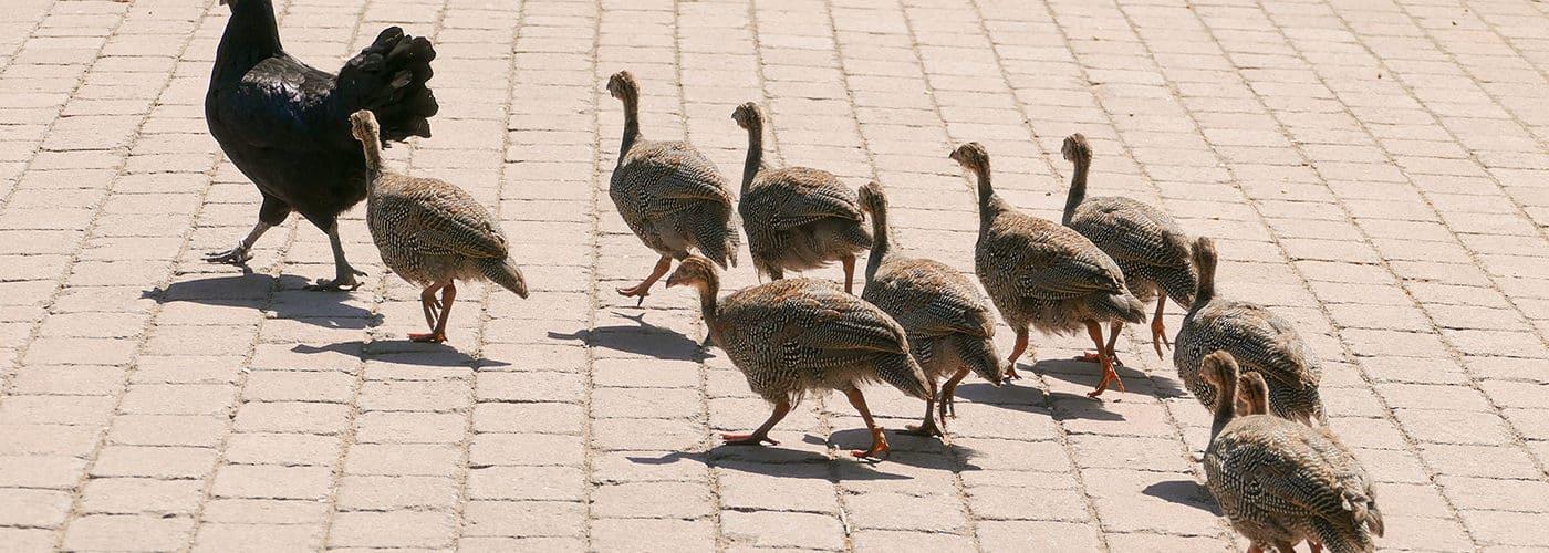 Junge Perlhühner (Foto: Petra Medan/Zoo Heidelberg)