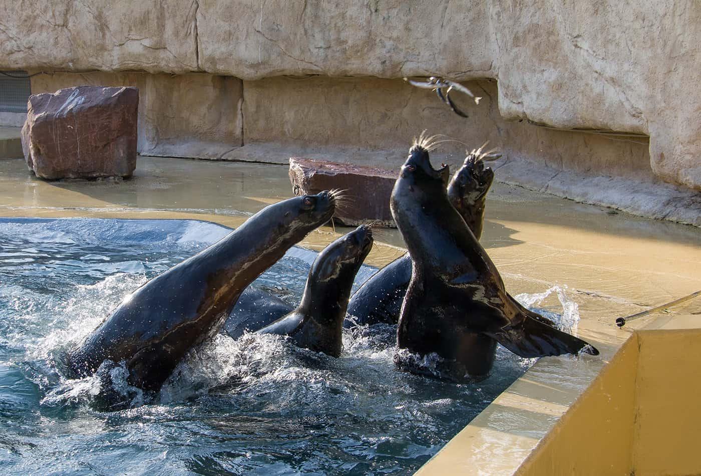 Robbenfütterung im Zoo Heidelberg (Foto: Heidrun Knigge/Zoo Heidelberg)