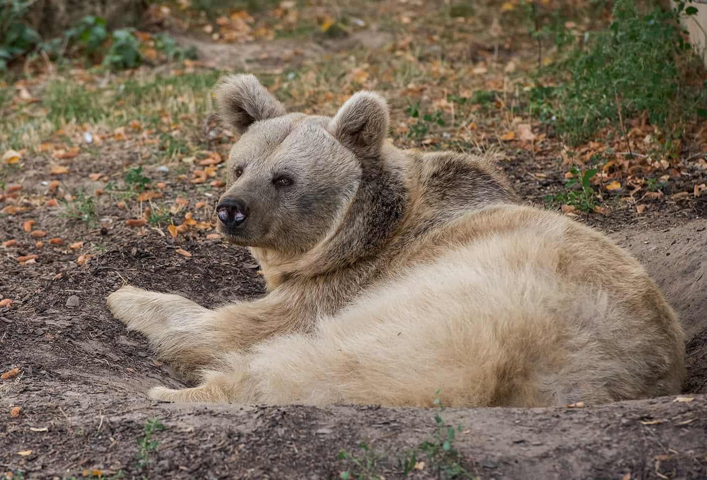 Syrischer Braunbär (Foto: Susi Fischer/Zoo Heidelberg)