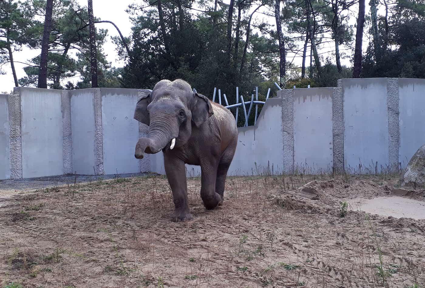 Asiatischer Elefant Gandhi (Foto: Tobias Kremer/Zoo Heidelberg)