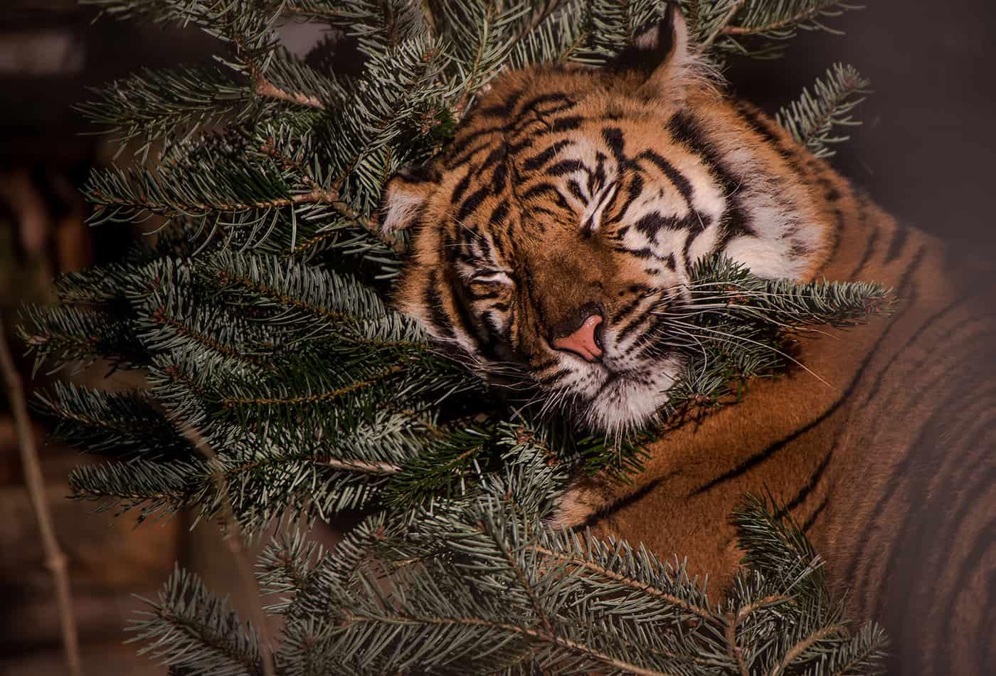 Sumatratiger mit Weihnachtsbaum (Foto: Susi Fischer/Zoo Heidelberg)