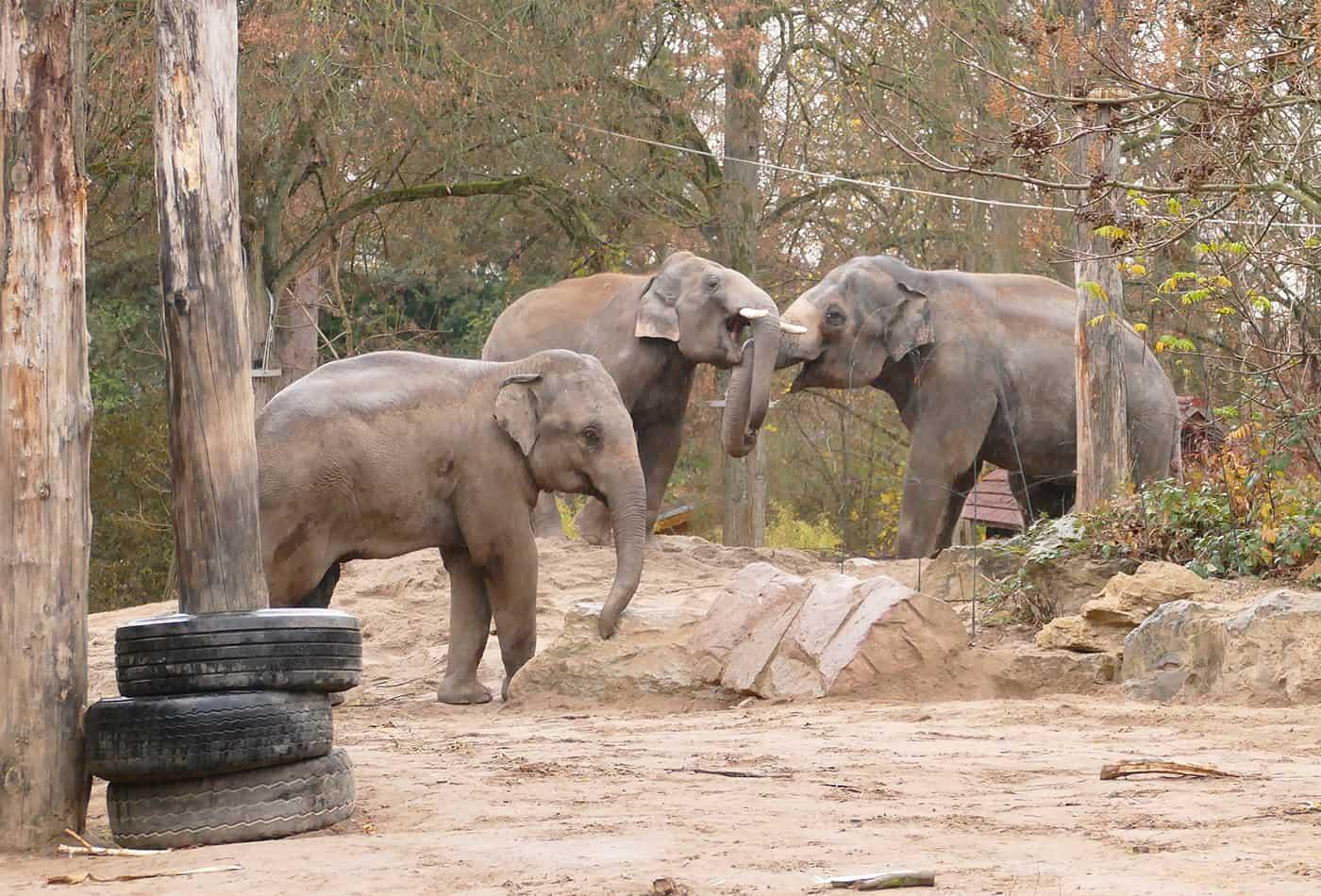 Asiatische Elefanten (Foto: Petra Medan/Zoo Heidelberg)