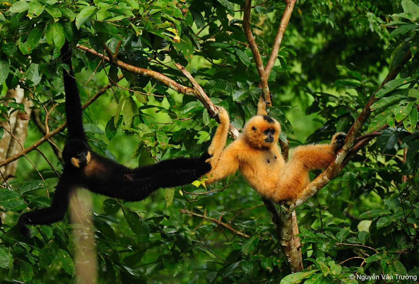 Gibbons (Foto: N.V. Truong)