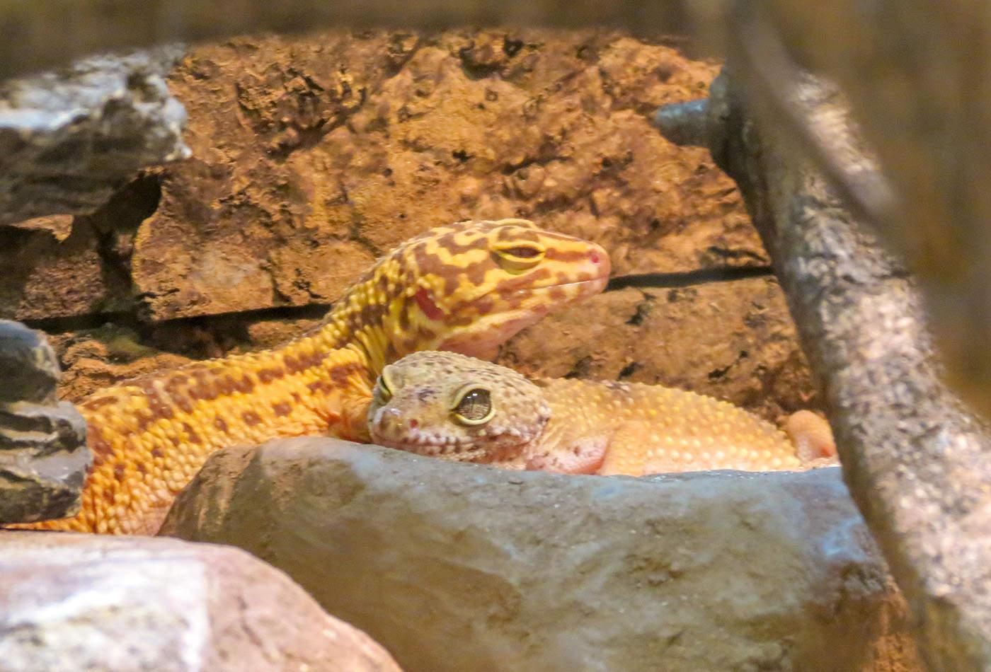 Leopardgeckos (Foto: Zoo Heidelberg)