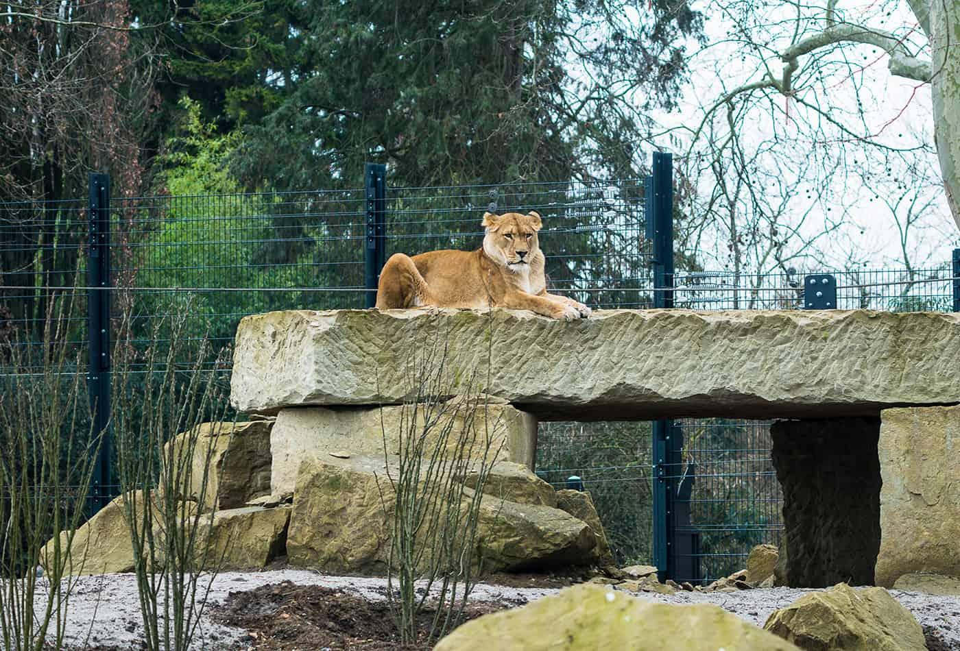 Löwenanlage im Zoo Heidelberg (Foto: Peter Bastian/Zoo Heidelberg)