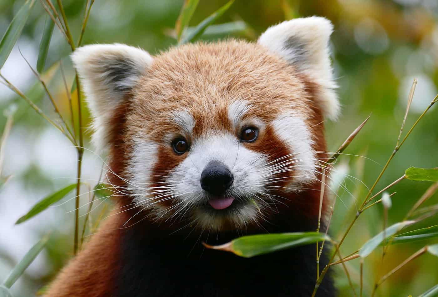 Roter Pande (Foto: Petra Medan/Zoo Heidelberg)