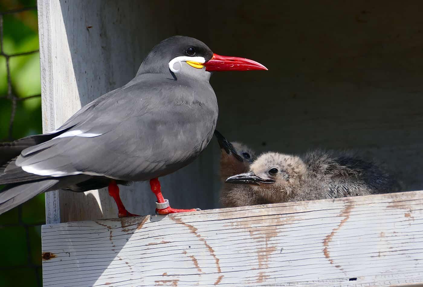 Inkaseeschwalbe mit Jungtier (Foto: Petra Medan)