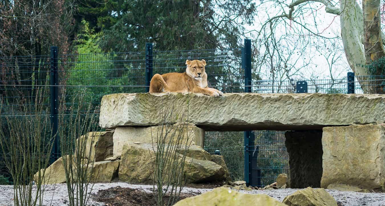 Kletterfelsen auf der Löwenanlage (Foto: PEter Bastian/Zoo Heidelberg)