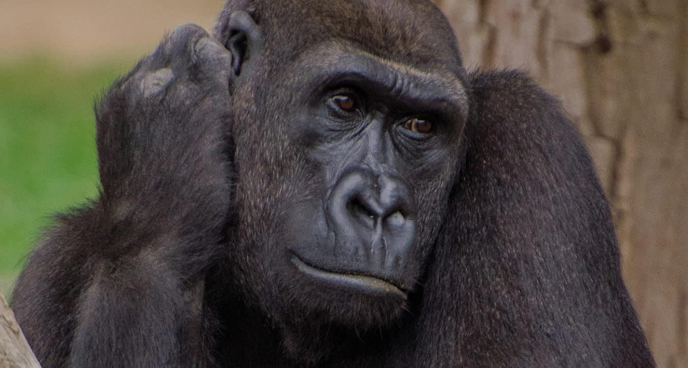 Gorillaweibchen N'Gambe (Foto: Zoo Heidelberg)