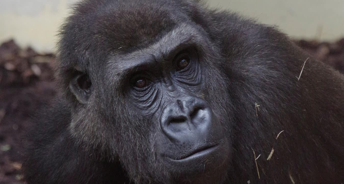 Gorillaweibchen Shaila (Foto: Zoo Heidelberg)