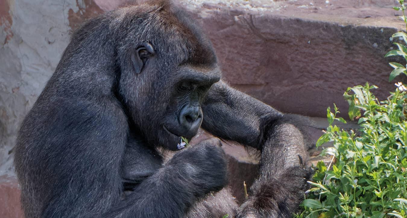 Gorillaweibchen Zsa-Zsa (Foto: Zoo Heidelberg)