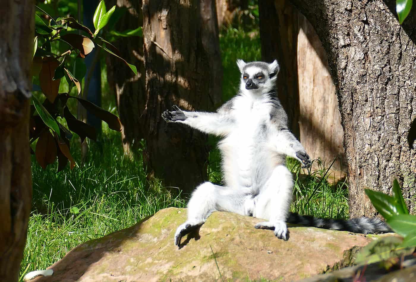 Katta beim Sonnenbaden (Foto: Petra Medan/Zoo Heidelberg)