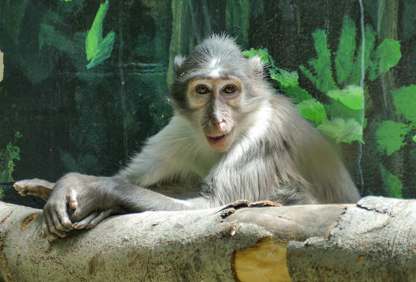 Männchen Harry kam kurz nach den beiden Weibchen im Zoo Heidelberg an. Alle drei Weißscheitelmangaben verstehen sich gut (Foto: Heidrun Knigge/Zoo Heidelberg)