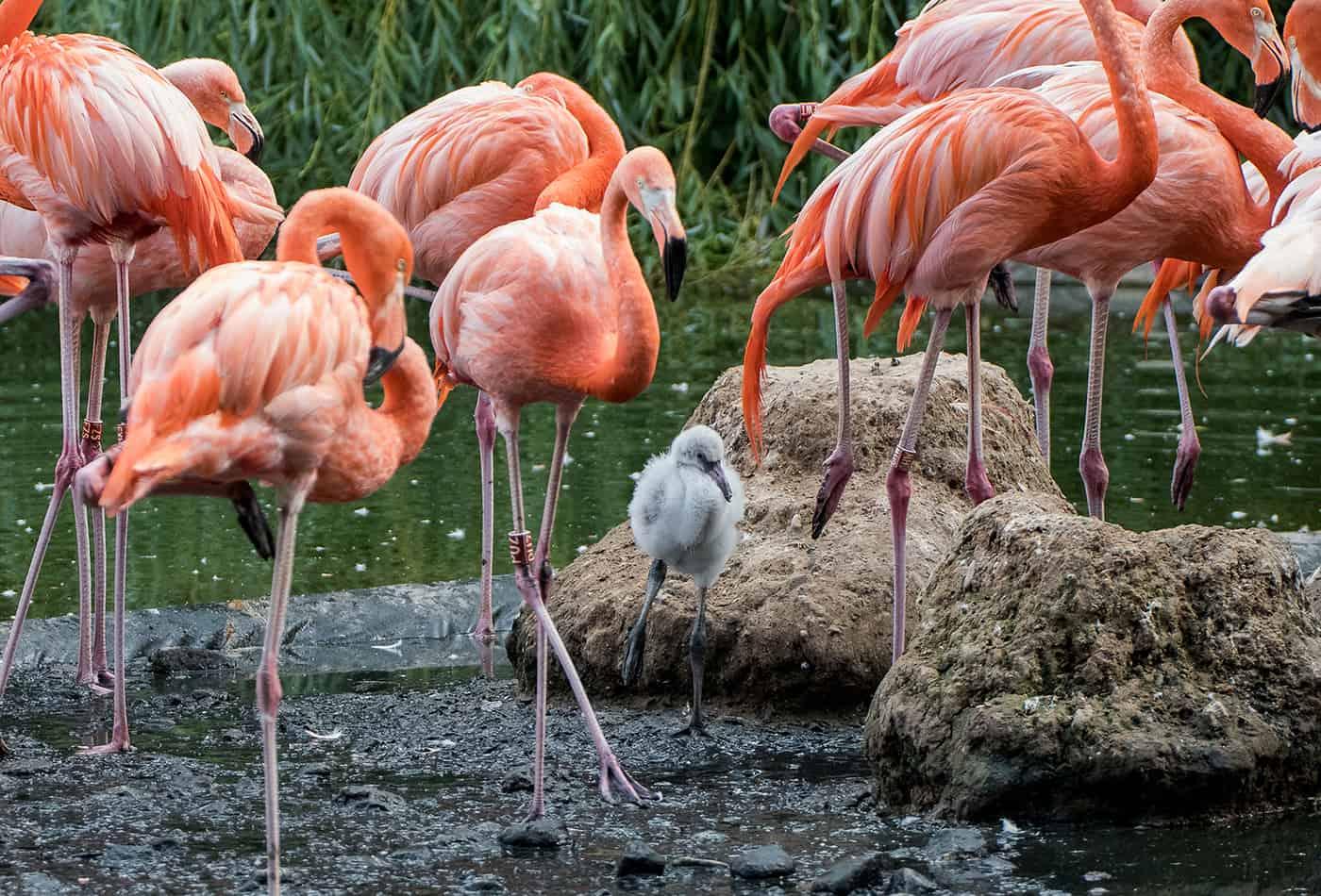 Flauschiger Nachwuchs: Das Flamingo-Küken übt bereits den typischen Ein-Bein-Stand (Foto: Susi Fischer/Zoo Heidelberg)