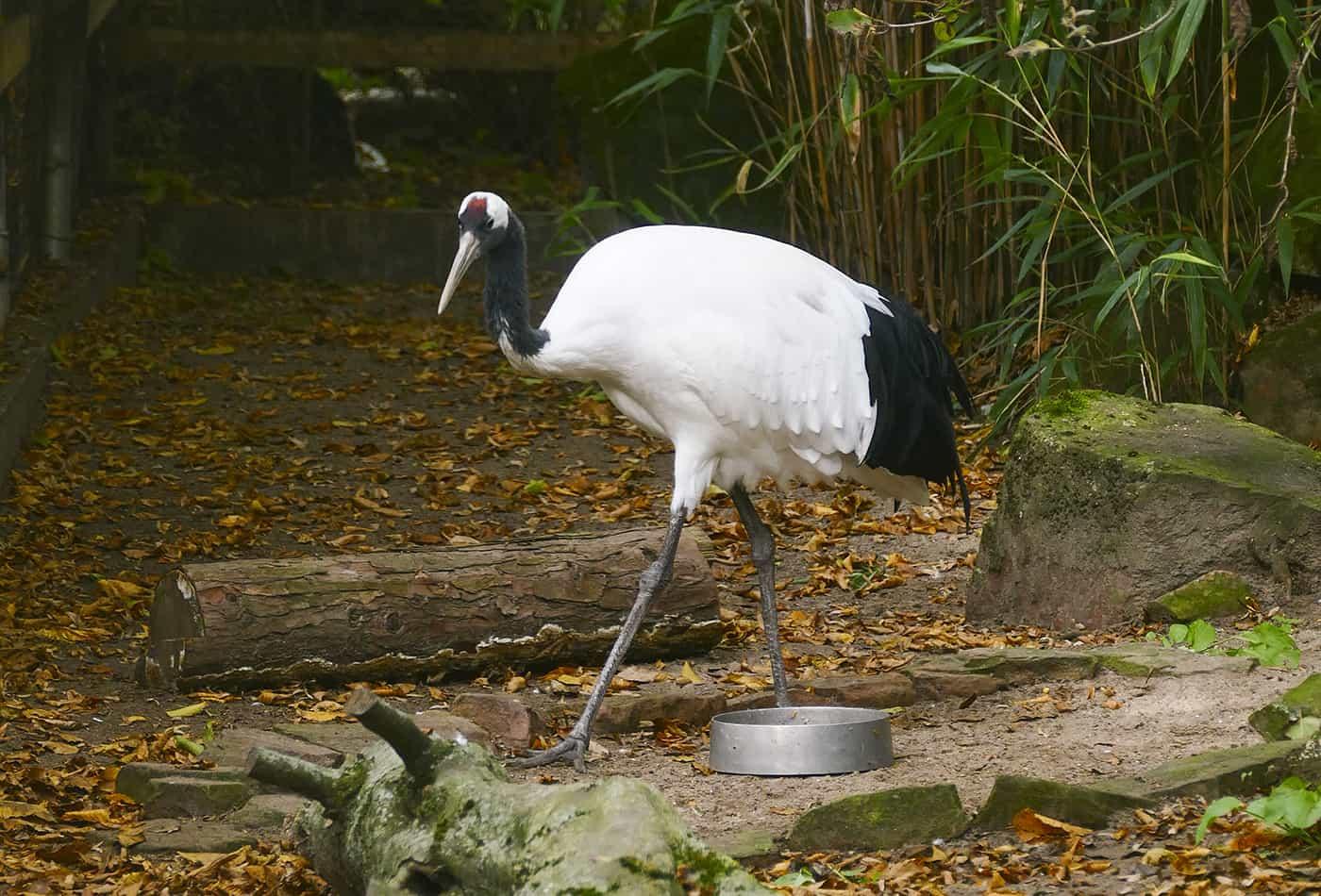 Mandschurenkranich im Zoo Heidelberg (Foto: Heidrun Knigge)