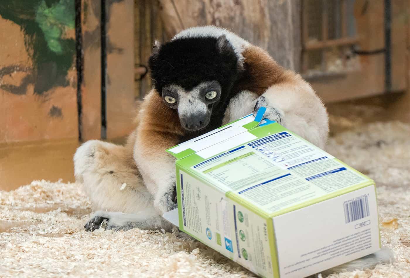 Ob sich die Tiere im Zoo Heidelberg auch in diesem Jahr über Geschenke freuen dürfen? Kronensifaka Daholo ist bereits auf der Suche nach kleinen Leckereien. (Foto: Susi Fischer/Zoo Heidelberg)
