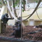 Schimpanse Epulu mit Susi und Lulu (Foto: Zoo Heidelberg)