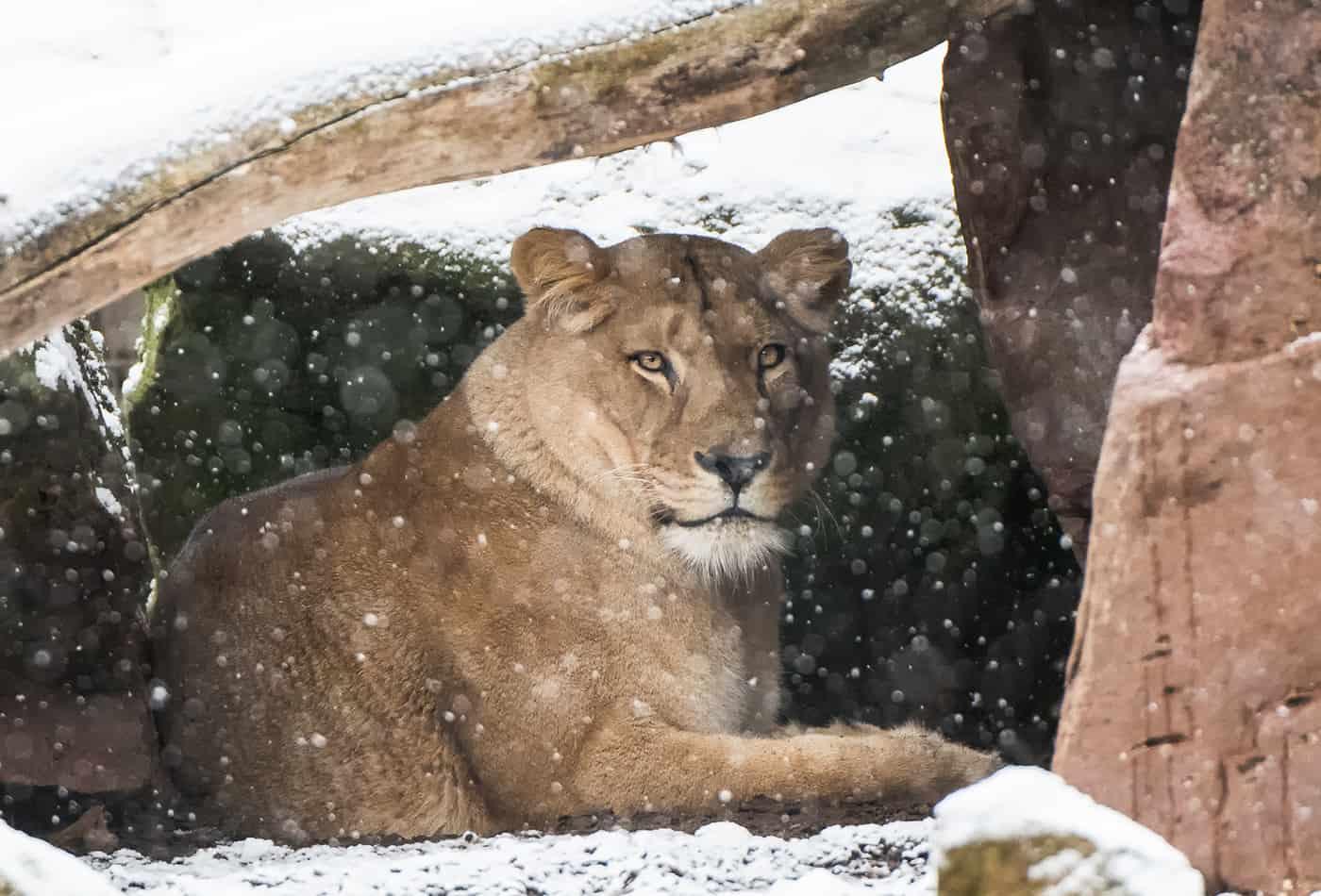 Weihnachten im Zoo Heidelberg (Foto: Susi Fischer)
