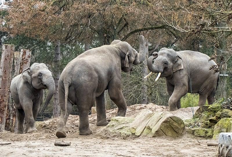 Asiatische Elefanten im Zoo Heidelberg