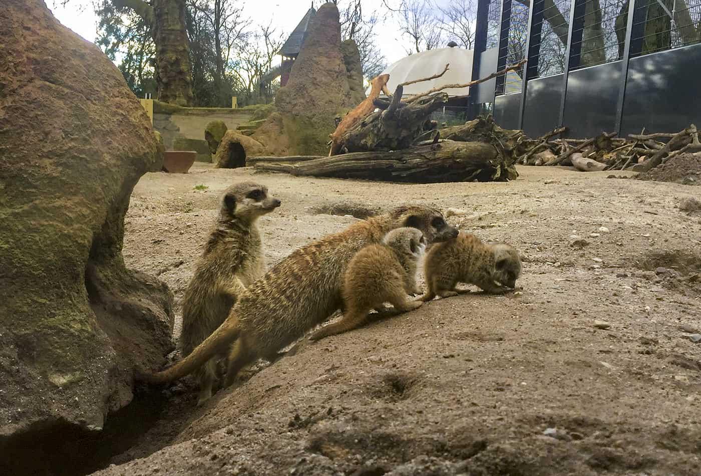 Erdmännchen-Nachwuchs im Zoo Heidelberg (Foto: Zoo Heidelberg)