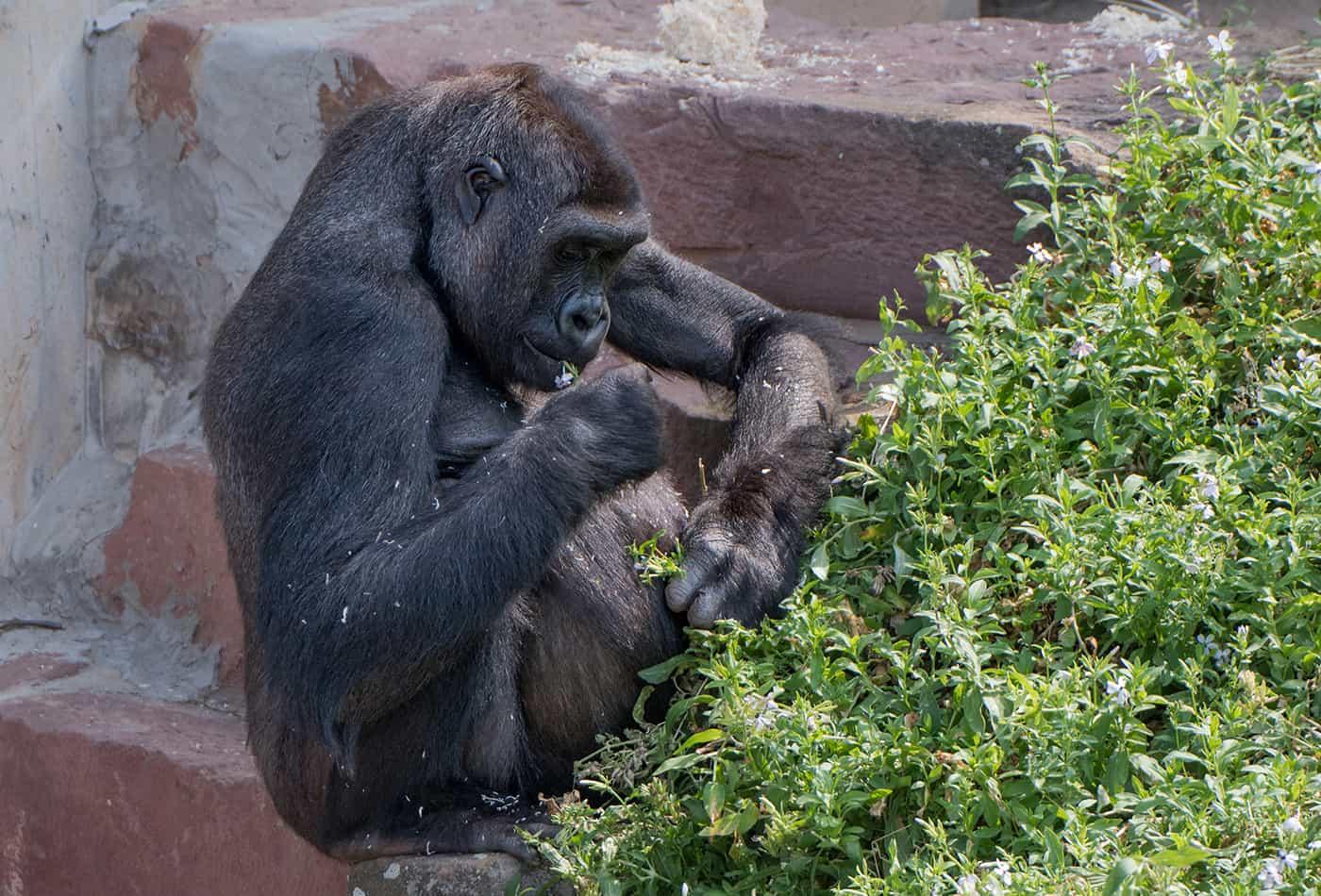 Gorillaweibchen Zsa Zsa im Zoo Heidelberg (Foto: Zoo Heidelberg)