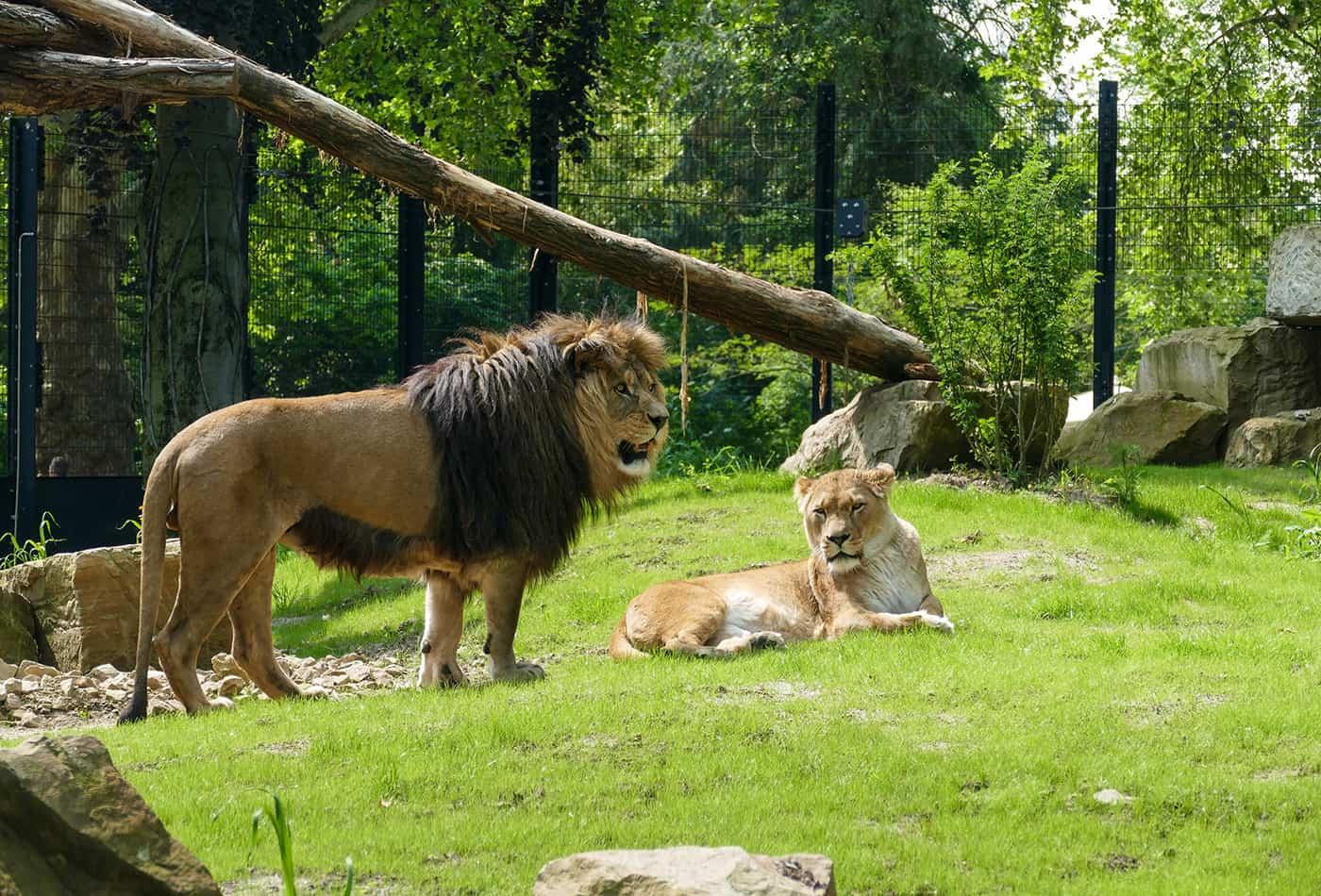 Berberlöwen im Zoo Heidelberg (Foto: Knigge/Zoo Heidelberg)