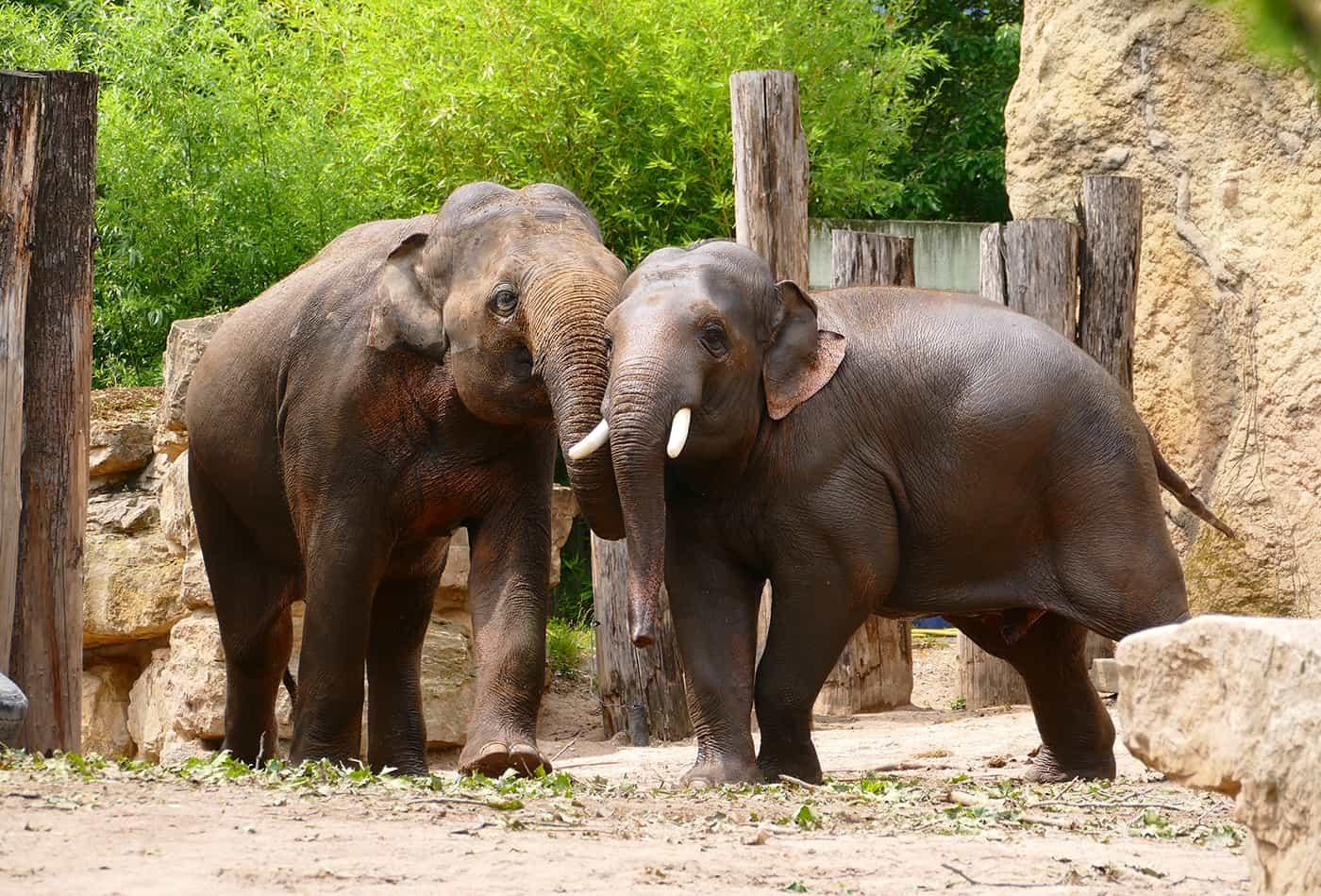 Elefanten im Zoo Heidelberg (Foto: Petra Medan)