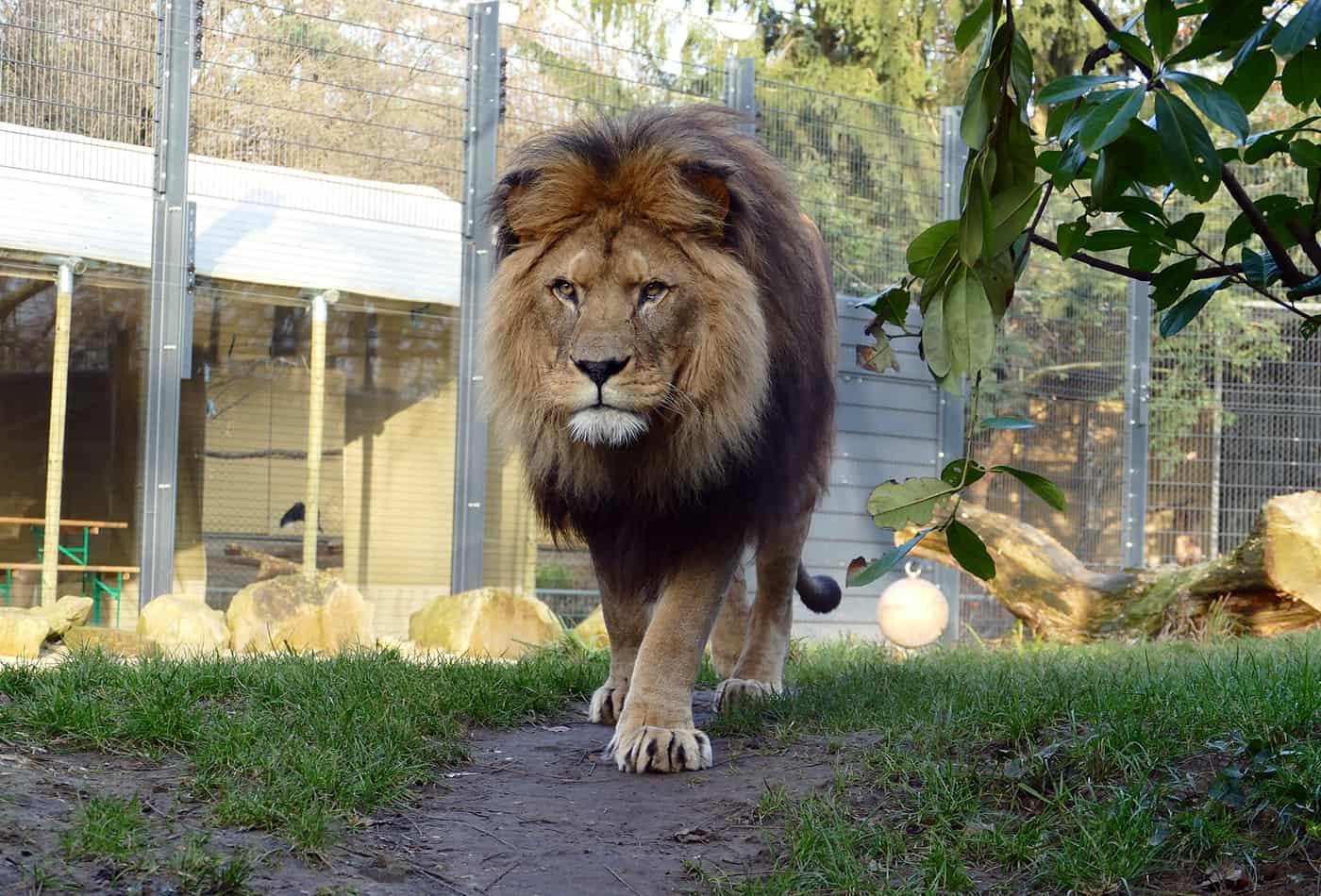 Berberlöwe im Zoo Heidelberg (Foto: Petra Medan/Zoo Heidelberg)