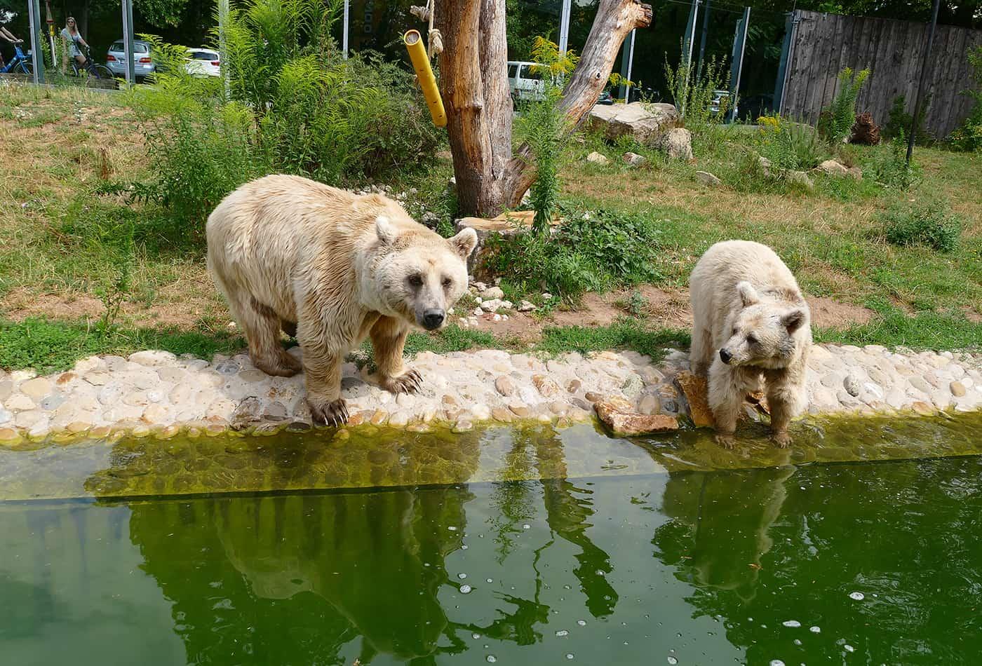 Syrische Braunbären im Zoo Heidelberg (Foto: Petra Medan/Zoo Heidelberg)