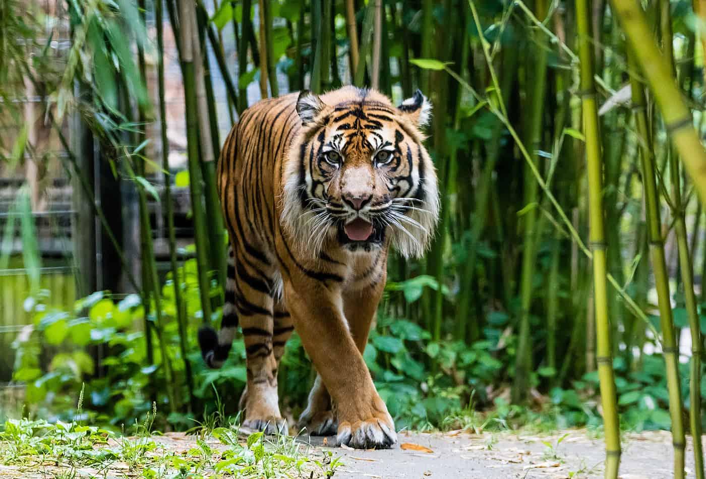 Er gilt als König des Dschungels – der Tiger. Wie er sich an das Leben im Regenwald angepasst hat, erfahren die Teilnehmer bei den Schnupper-Workshops in den Herbstferien im Zoo Heidelberg. (Foto: Zoo Heidelberg) (Foto: Zoo Heidelberg)