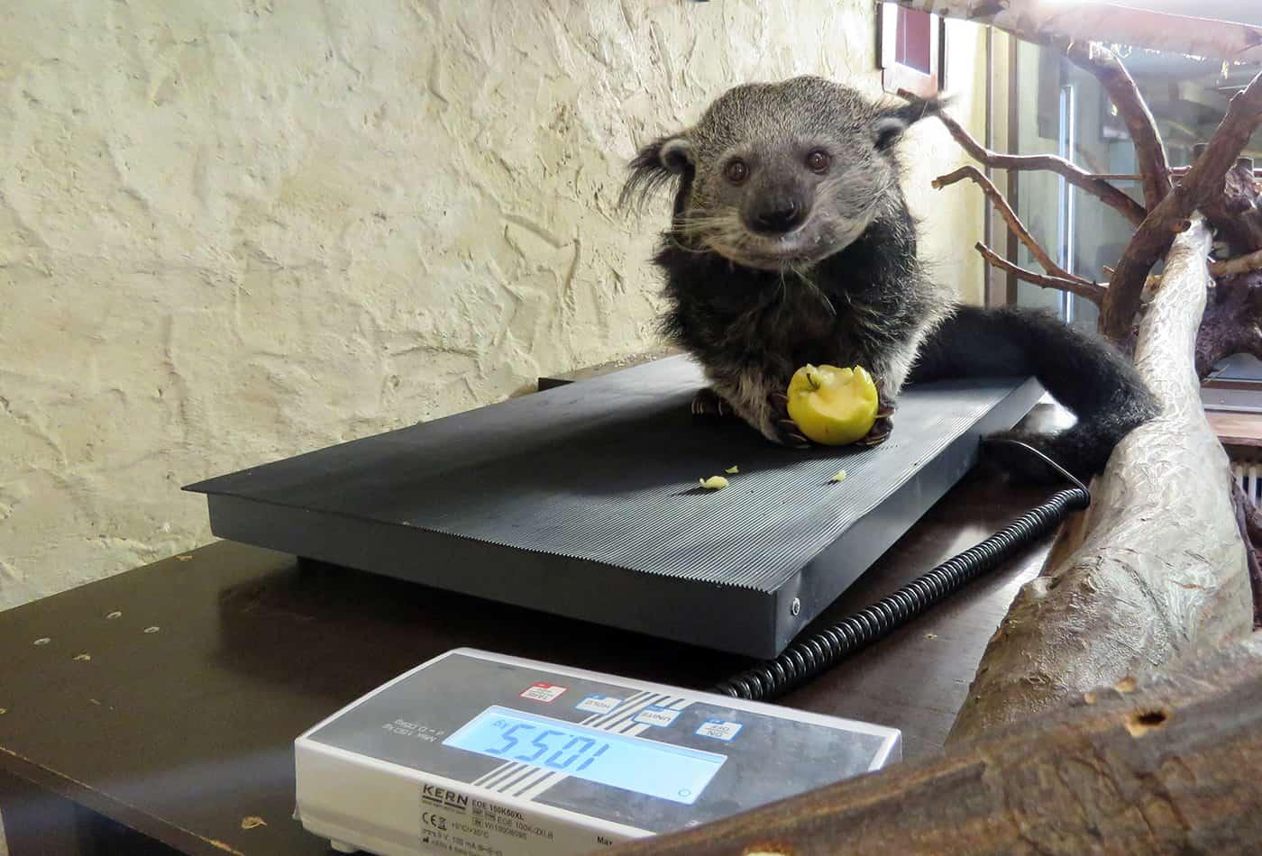 Eine großzügige Spende der Sparkasse Heidelberg ermöglichte die Anschaffung einer mobilen Waage zur Gewichtskontrolle unterschiedlicher Zootiere. Auf dem Foto ist die Waage bei den Binturongs im Einsatz. (Foto: Zoo Heidelberg)