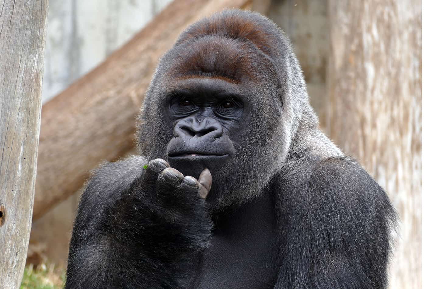 ür die Heidelberger Gorilla-Gruppe um Silberrücken Bobo soll eine neue Außenanlage gebaut werden. (Foto: Zoo Heidelberg)