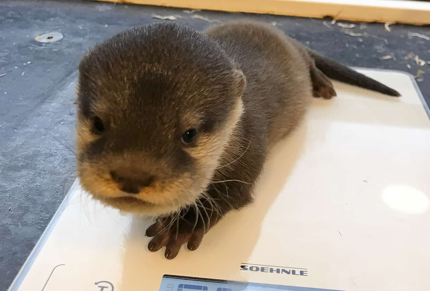 Alles gesund: Bei der ersten tierärztlichen Untersuchung wurde ebenfalls das Geschlecht der drei Otter-Welpen festgestellt. Es sind zwei Männchen und ein Weibchen.