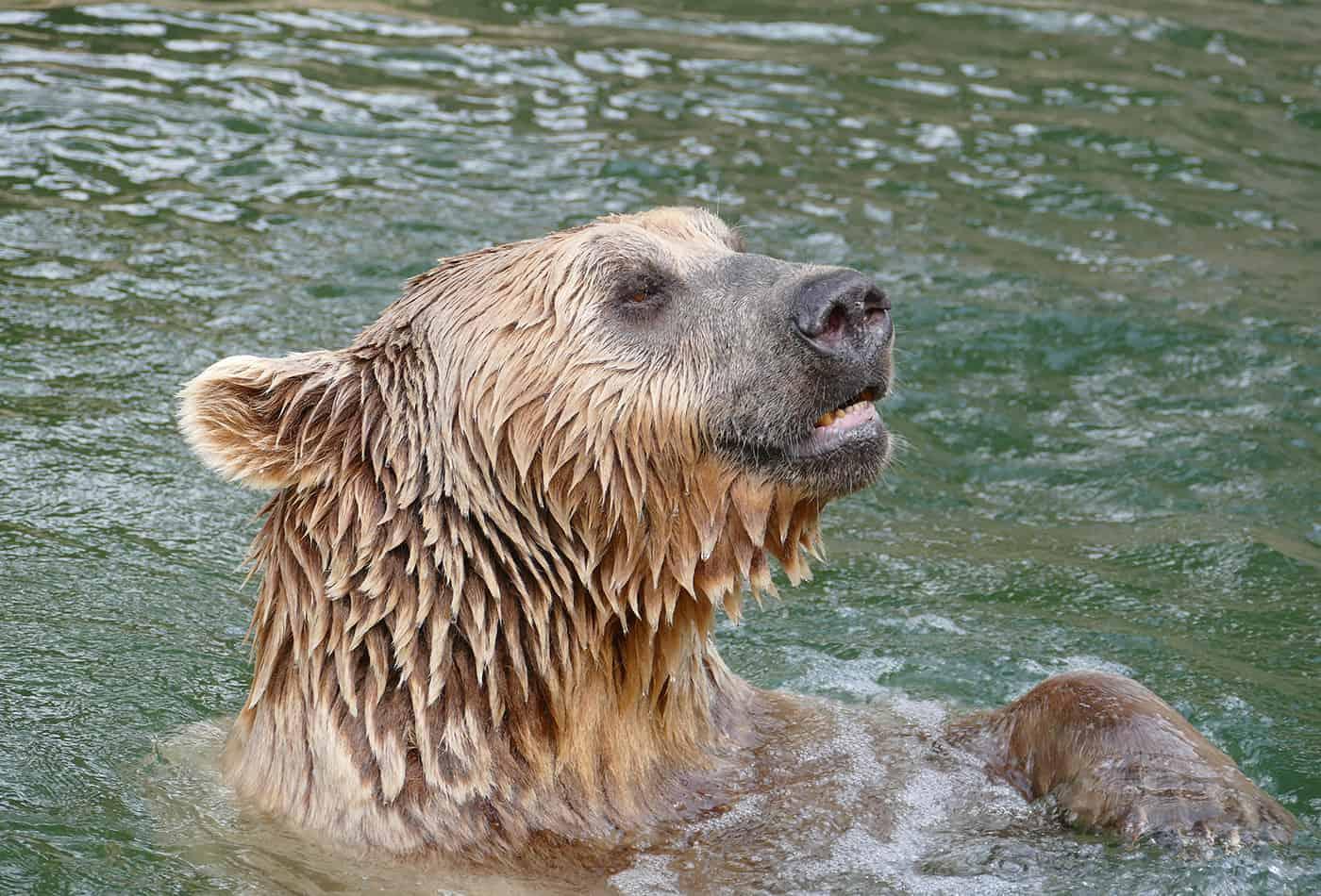 Syrischer Braunbär im Zoo Heidelberg gestorben (Foto: Zoo Heidelberg)